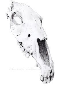 Horse skull drawing